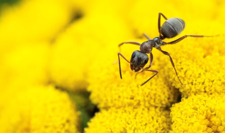 Как уничтожить домашних мурашей
